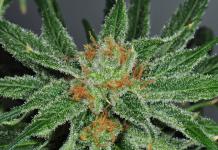 Cannabis-hilft-bei-der-Heilung-gebrochener-Knochen