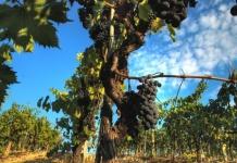 Italien ist wieder weltgrößter Weinproduzent.