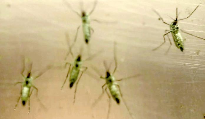 Zika-Virus brach da aus, wo Forscher Gen-Mücken aussetzten