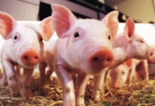 Wissenschaftler züchten menschliche Organe in Schweinen (Foto: Groovy Groupie Gary