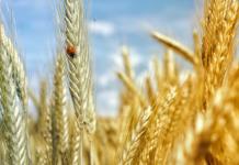 Russland Weizen-Exporteur