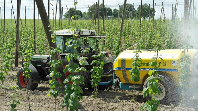 Growing hops in Germany.
