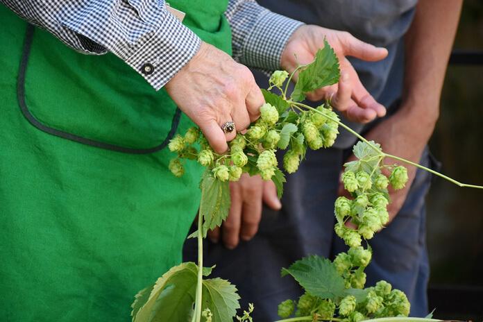 Harvested hop vines.