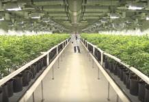 Weltweit größte Marihuana Plantage belebt kanadische Wirtschaft (Foto: Screenshot, Ian Campbell auf Youtube)