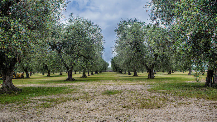 Olivenbäume in Italien (Foto: N i c o l a)