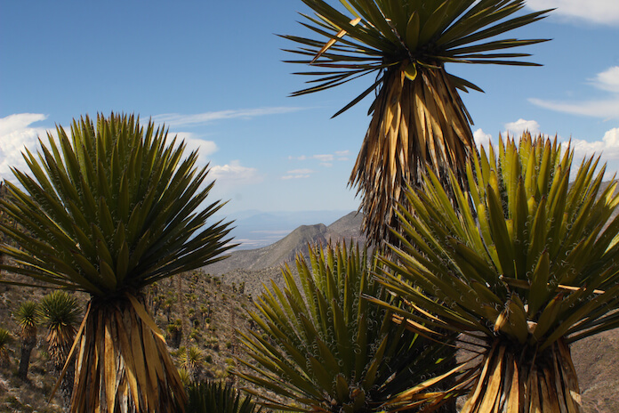 Half a cactus, half a palm tree. The plants are making Real de Catorce a paradise for travellers.