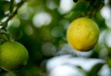 Der Zitronenkrieg zwischen den USA und Argentinien ist zu Ende (Foto: Beatrice Murch)